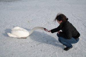 Лебединая пара оказалась в ледовом плену